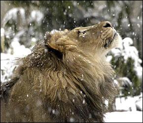 a-lion-in-winter-taken-011708